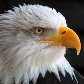 free live eagle wallpapers